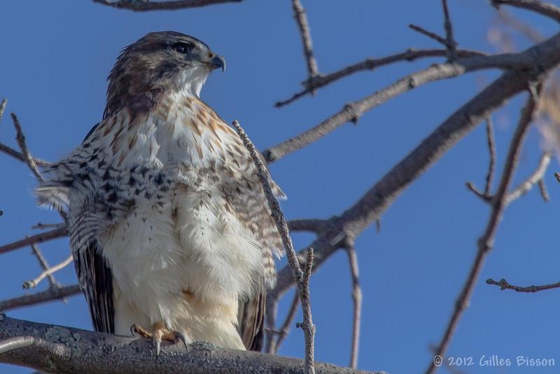 Red-tailed hawk, Amherst Island, Nov 2012