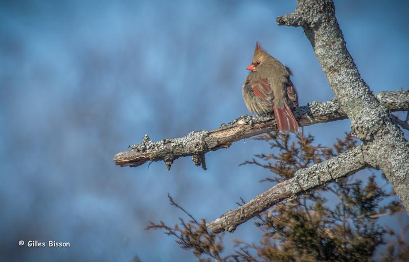 Northern Cardinal, Amherst Island, January 27 2015, Canon 7D Mark 2, 100-400mm, 1/320,F7.1,ISO100