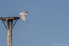Snowy Owl, December 11 2012, Amherst Island