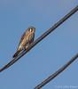 American Kestrel, November 14 2012, Amherst Island