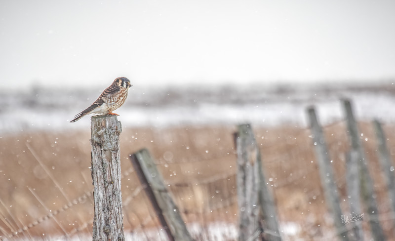 American Kestrel, Amherst Island, January 25, 2019, Canon 7D Mark II. 100-400mm, 1/1250, F7.1, ISO 400