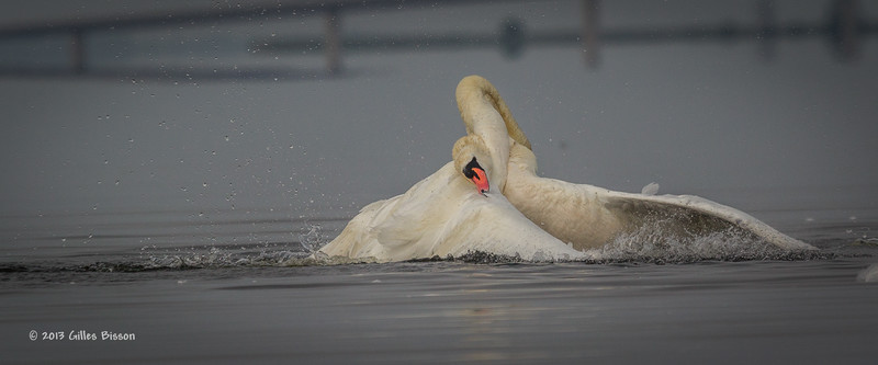 Mating Mute Swans, July 9 2013, Bay of Quinte, #2590, Canon T3i-100-400mm-1/1600-f7.1-ISO 200-LR5