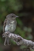 Eastern Wood Pewee, July 19 2012, Bay of Quinte