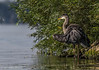 Great Blue Heron, August 20 2011, Bay of Quinte