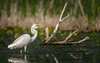 Great Egret, June 13 2021, Bay of Quinte, Blessington Creek, Sony A7RIV, 100-400mm, 1.4X, 1/1600, F8.0, ISO 80