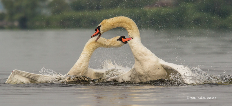 Mating Mute Swans, July 9 2013, Bay of Quinte, #2674, Canon T3i-100-400mm-1/1600-f7.1-ISO 200-LR5