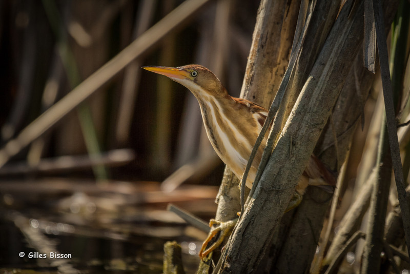 Least Bittern, May 31 2014, Blessington creek, Bay of Quinte, Canon T3i,100-400mm,1/10000,F7.1,ISO200