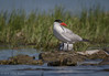 Caspian Tern, July 29 2012, Bay of Quinte