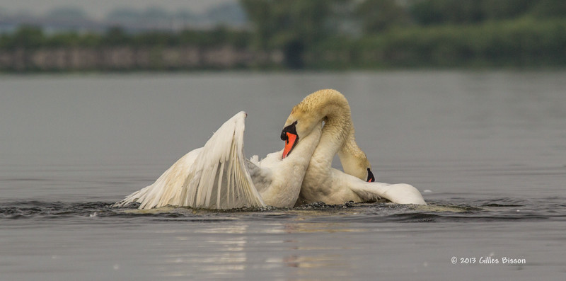 Mating Mute Swans, July 9 2013, Bay of Quinte, #2678, Canon T3i-100-400mm-1/1600-f7.1-ISO 200-LR5