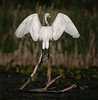Great Egret, June 13 2021, Bay of Quinte, Blessington Creek, Sony A7RIV, 100-400mm, 1.4X, 1/1600, F9.0, ISO 80