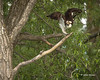 Osprey, June 06 2014, Bay of Quinte, Canon T3i, 100-400mm,1/1250,F5.6,ISO200