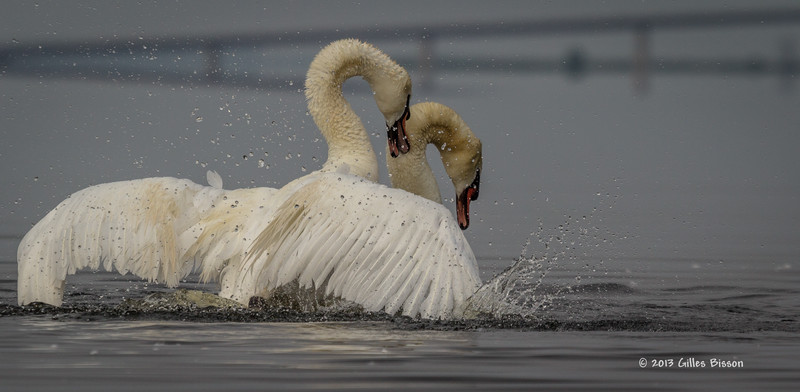 Mating Mute Swans, July 9 2013, Bay of Quinte, #2624, Canon T3i-100-400mm-1/1600-f7.1-ISO 200-LR5