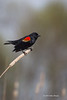 Red-winged Blackbird, Bay of Quinte, May 07 2013 #6129