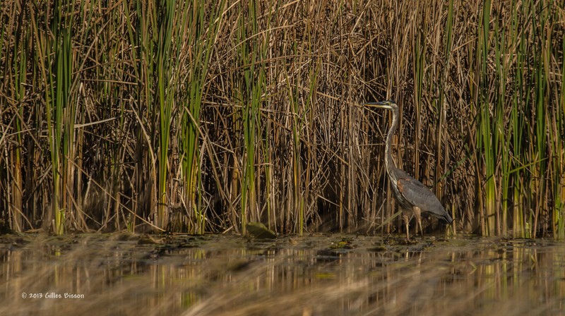 Blue Heron, Oct 10 2013, #7625, Canon T3i-1/1000sec-F6.3-ISO100-LR5
