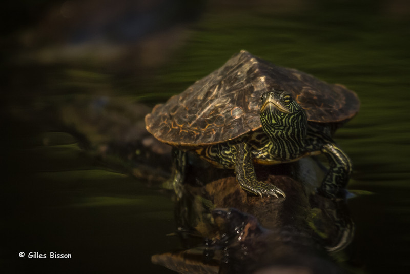 Map turtle, May 26 2014,Bay of Quinte, Canon T3i,100-400mm,1/1250,F7.1,ISO200