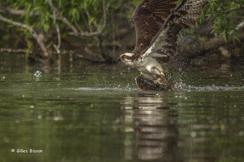 Osprey, June 17 2014, Bay of Quinte, Canon T3i, 100-400mm,1/1000,F5.6,ISO200