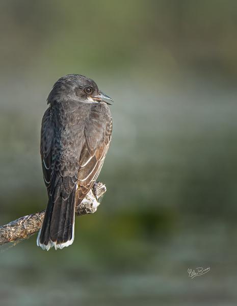 Eastern Kingbird, Juvenille, June 20, 2021, Bay of Quinte, Sony A7RIV, 100-400 mm, 1.4X, 1/120, F8.0, ISO 800