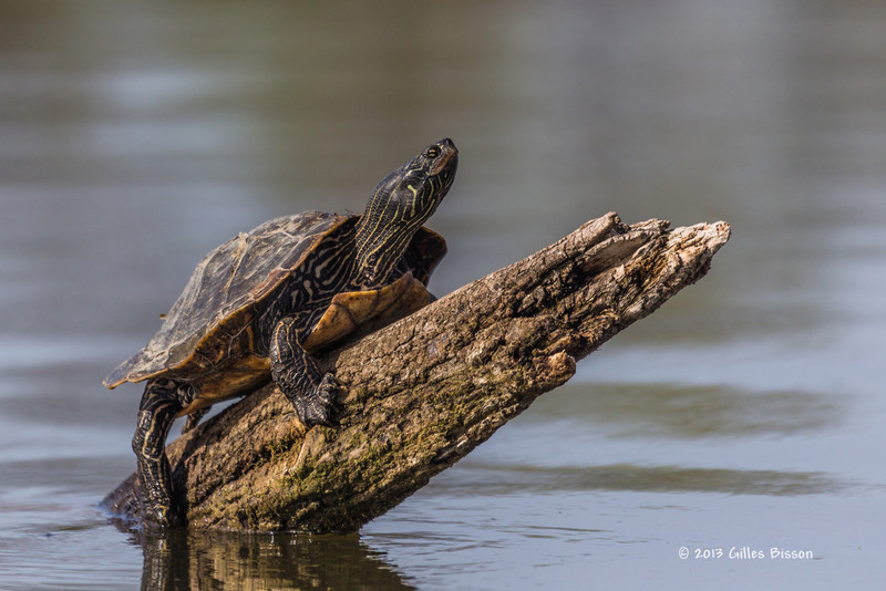Map Turtle, Bay Of Quinte, Blessington Creek, May 7 2013, #6111
