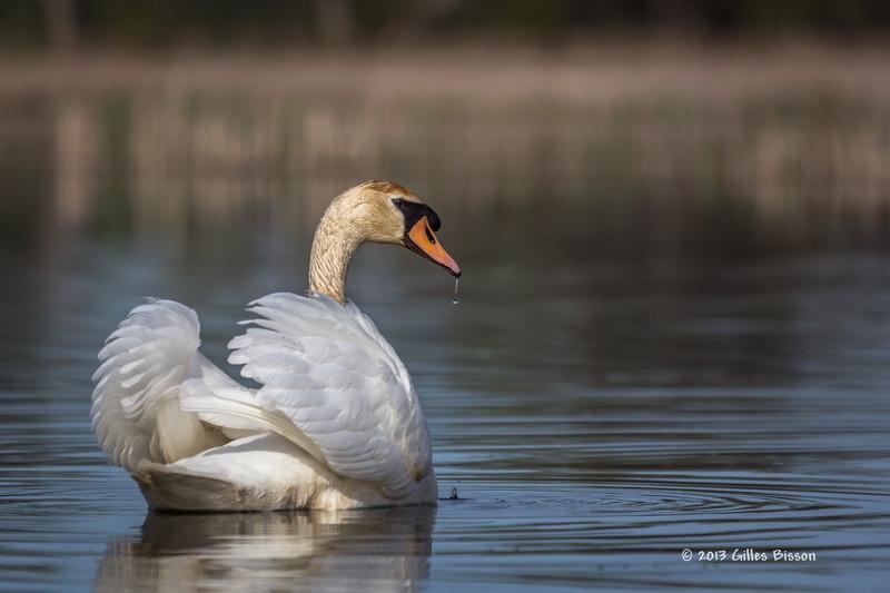 Swan, Bay of Quinte, May 7 2013, #5709