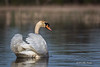 Swan, Bay of Quinte, May 7 2013, #5709