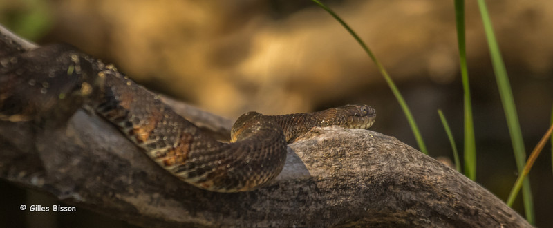 Water Snake, Bay of Quinte, Canon T3i, 1/800,F7.1,ISO200