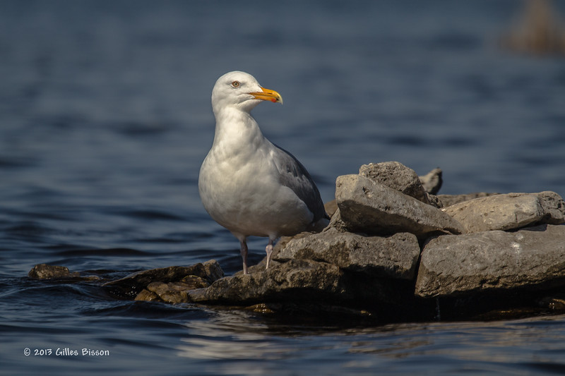 Herring Gull, Bay of Quinte, May 02 2013, #7725
