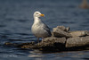Herring Gull, Bay of Quinte, May 02 2013, #7725