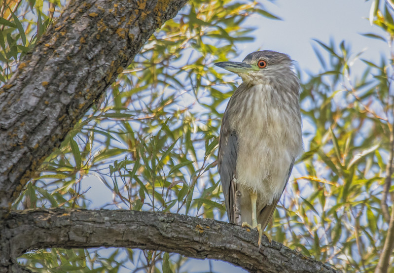 Black-crowned Night Heron, Bay of Quinte, September 11, 2017, Canon 7D, 1/1250, F6.3, ISO 800