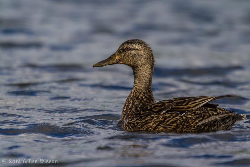 Female Mallard, June 13 2012, Bay of Quinte