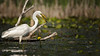Great Egret, June 13 2021, Bay of Quinte, Blessington Creek, Sony A7RIV, 100-400mm, 1.4X, 1/1600, F8.0, ISO 80.0, ISO 100