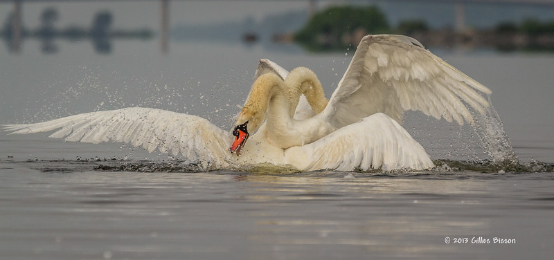 Mating Mute Swans, July 9 2013, Bay of Quinte, #2685, Canon T3i-100-400mm-1/1600-f7.1-ISO 200-LR5