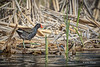Common Moorhen, Blessington Creek, Bay of Quinte, May 04, 2016, Canon 7D markII, 100-400mm, 1/2000,F8.0,ISO 500