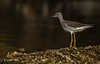 Lesser Yellowlegs, Oct 10 2013, #7609, Caon T3i-1/640sec-F7.1-ISO200-LR5