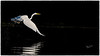 Great Egret, June 13 2021, Bay of Quinte, Sony A7RIV, 100-400mm, 1.4X, 1/800,F8.0, ISO 125