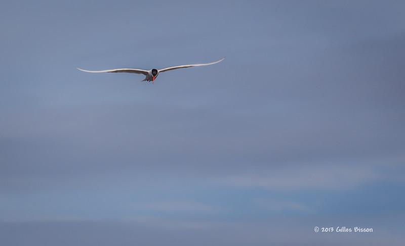 Caspian Tern, Bay of Quinte, May 7 2013,#5826