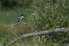 Belted Kingfisher - female, July 29 2012, Bay of Quinte