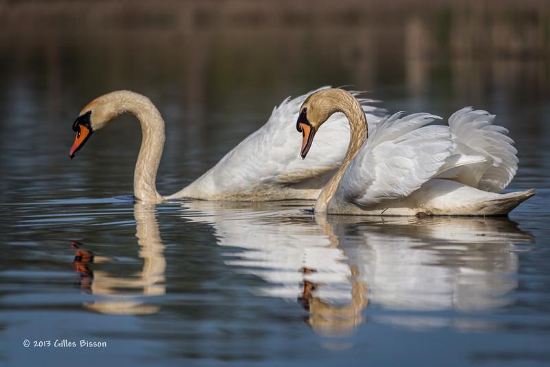 Swan, Bay of Quinte, May 7 2013, #5713
