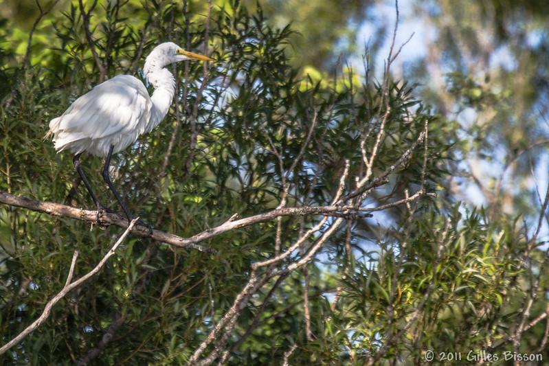 Great Egret, August 22 2011,Bay of Quinte