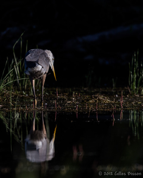 Great Blue Heron, July 29 2012, Bay of Quinte