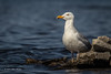 Herring Gull, Bay of Quinte, May 02 2013, #7727