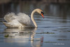 Swan, Bay of Quinte, May 7 2013, #5698