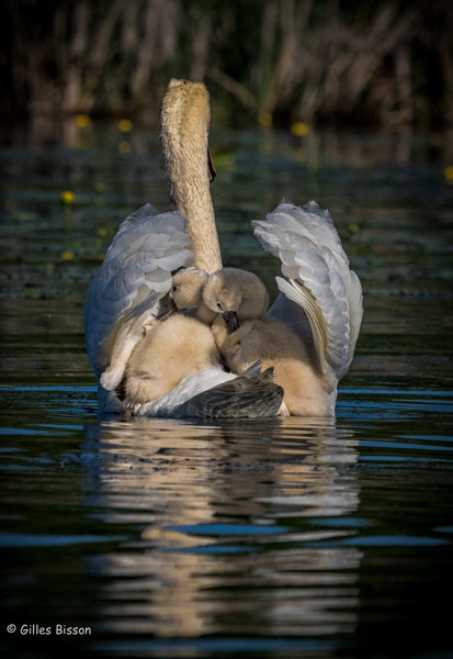 Mute Swan, with cygnets,Blessington,Creek, Bay of Quinte,May 31,2016, Canon 7D MarkII, 1/1250,,F9.0,ISO 125