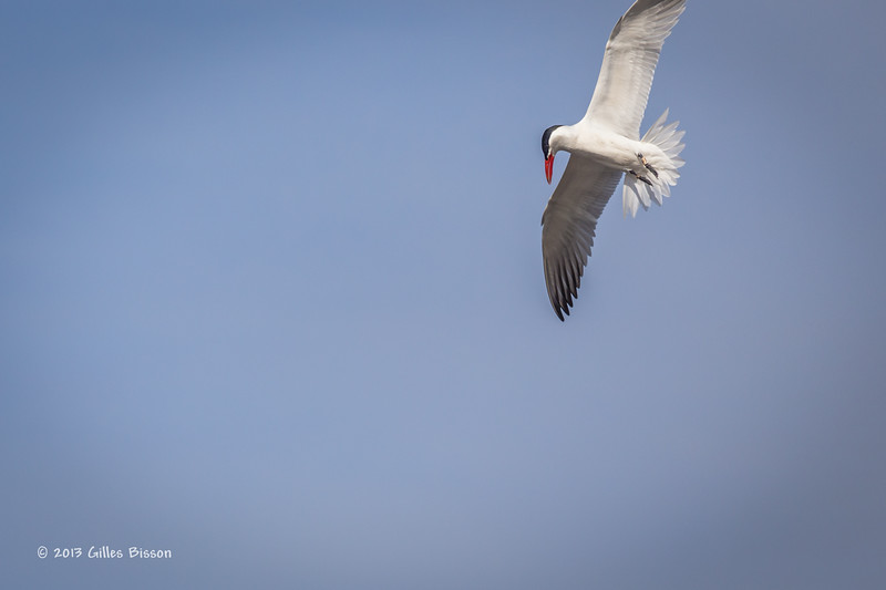 Caspian Tern, Bay of Quinte, May 7 2013,#6027