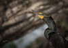 Cormorant, May 17, 2021, Bay of Quinte, Sony A7RIV, 100-400mm, 1.4X, 1/400, F8.0, ISO 100
