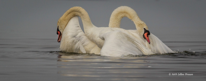 Mating Mute Swans, July 9 2013, Bay of Quinte, #2704, Canon T3i-100-400mm-1/1600-f7.1-ISO 200-LR5