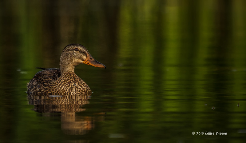 Mallard duck,female,Bay of Quinte, July 27 2013