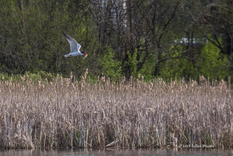 Caspian Tern, Bay of Quinte, May 7 2013,#5577