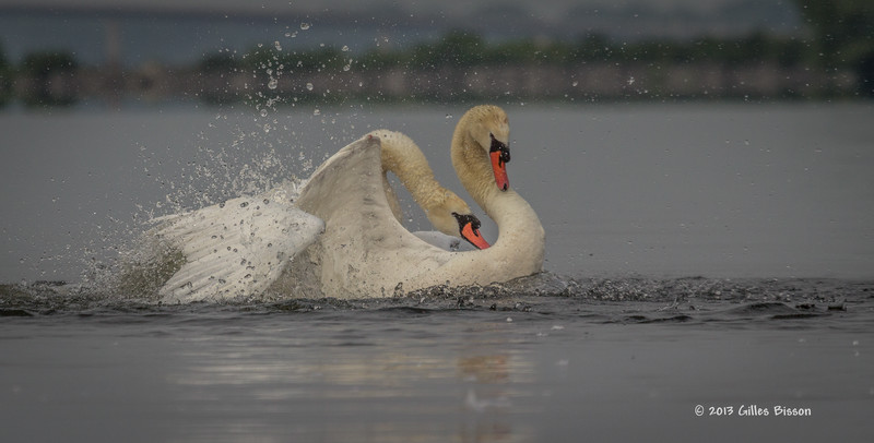 Mating Mute Swans, July 9 2013, Bay of Quinte, #2651, Canon T3i-100-400mm-1/1600-f7.1-ISO 200-LR5