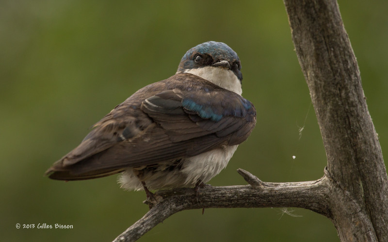 Tree Swallow, Bay of Quinte, July 09 2013, #2974, Canon t3i-100 to 4oo mm-1/500-f8.0-ISO 200, LR5