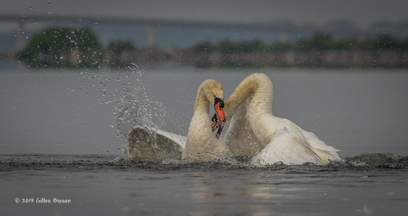 Mating Mute Swans, July 9 2013, Bay of Quinte, #2648, Canon T3i-100-400mm-1/1600-f7.1-ISO 200-LR5